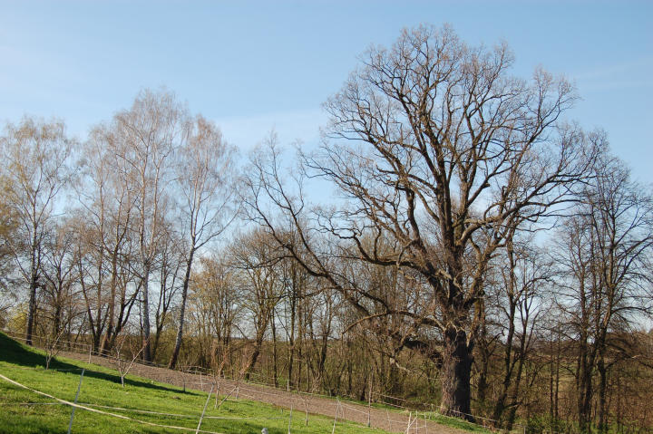 English oak in Kotuszów